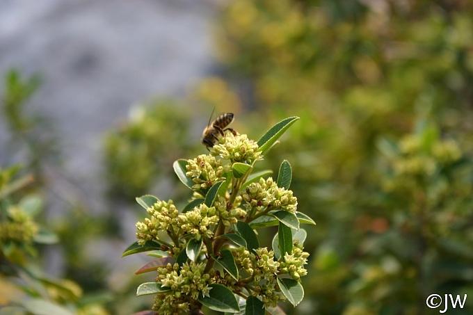 Rhamnus (Frangula) californica 'Mound San Bruno' California coffeeberry