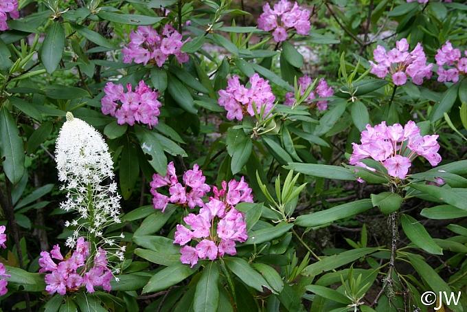 Rhododendron macrophyllum  California rose-bay