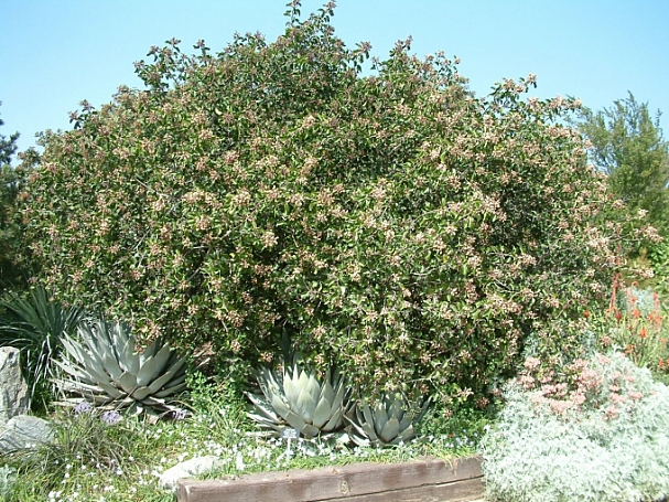 Rhamnus (Frangula) californica - large, inland form  California coffeeberry
