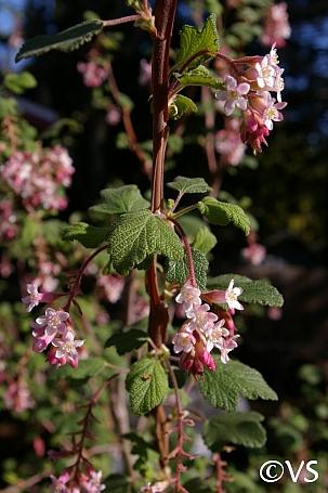 Ribes malvaceum  chaparral currant
