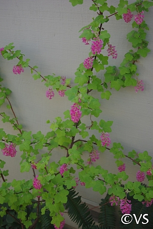Ribes sanguineum v. sanguineum 'Brocklebankii' golden-leaved red flowering currant