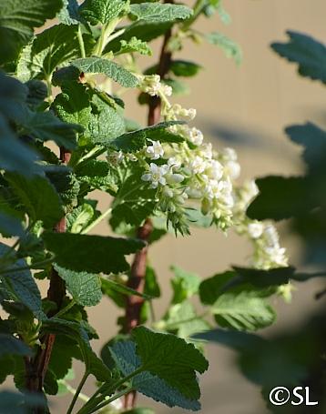 Ribes malvaceum 'Rana White' white chaparral currant