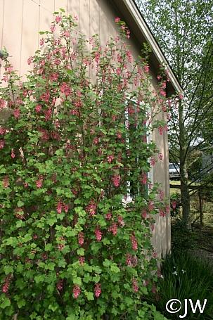 Ribes sanguineum v. glutinosum 'Monte Bello' pink flowering currant