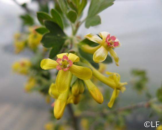 Ribes odoratum 'Crandall' clove-scented currant