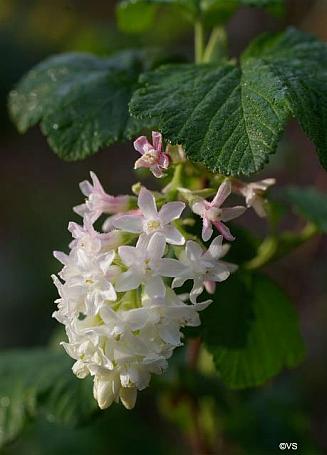 Ribes sanguineum v. glutinosum 'Inverness White' white flowering currant
