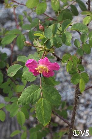 Rosa gymnocarpa  wood rose