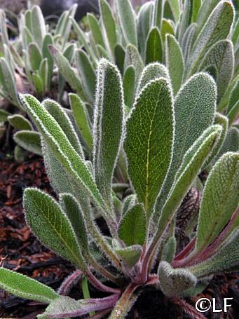 Salvia sonomensis 'Hobbit Toes' Sonoma sage