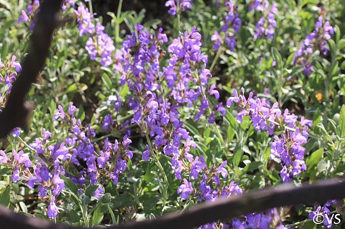 Salvia officinalis 'Robert Grimm' dwarf culinary sage