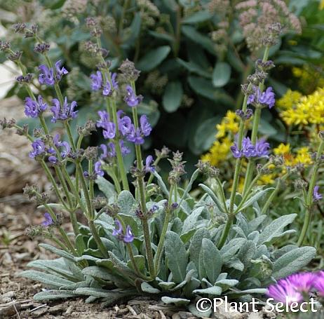 Salvia  canescens v. daghestanica  Caucasus sage
