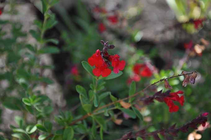 Salvia greggii 'Furman's Red' Furman's Red Sage