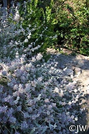 Salvia leucophylla 'Figueroa' purple sage