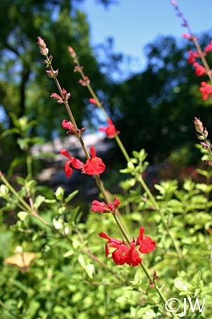 Salvia  'Scarlet Spires' sage