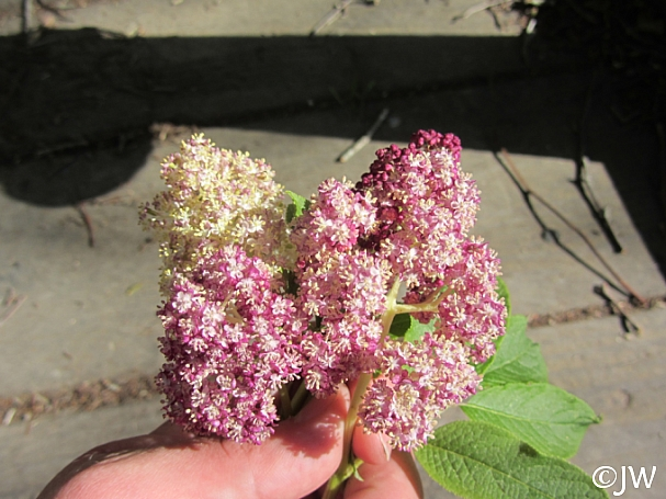 Sambucus racemosa 'Alamere Lavender' red elderberry