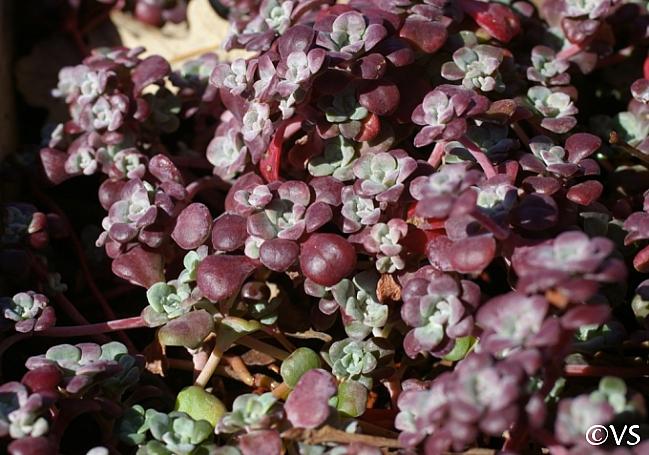 Sedum spathulifolium 'Purpureum' Pacific stonecrop