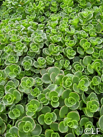 Sedum spurium 'John Creech' stonecrop