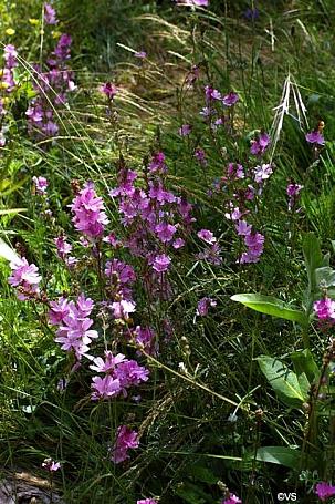 Sidalcea malviflora  checkerbloom