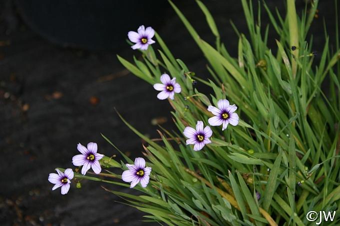 Sisyrinchium bellum 'Fort Bragg' blue-eyed grass