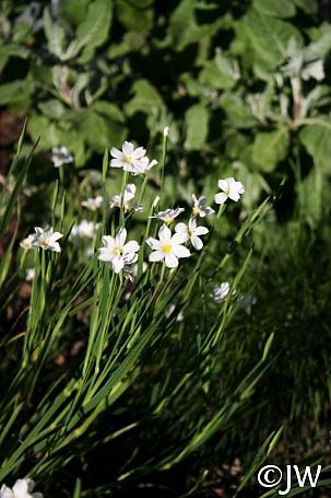 Sisyrinchium bellum 'Sonoma Snow' blue-eyed grass