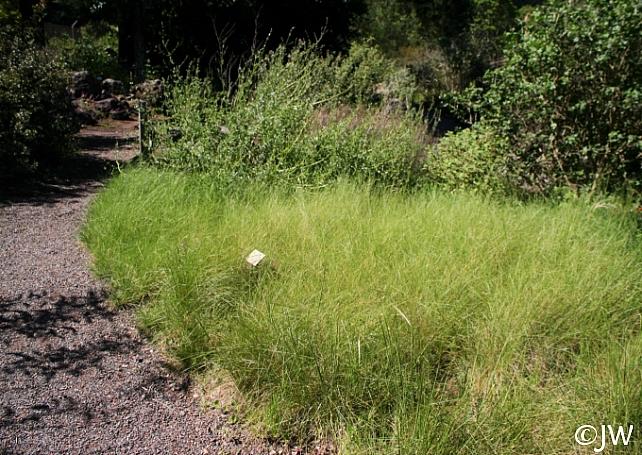 Stipa (Nassella) cernua  nodding needlegrass