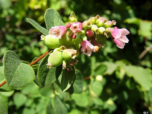 Symphoricarpos albus var. laevigatus 'Tilden Park' snowberry