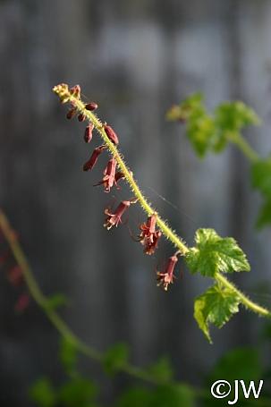 Tolmiea menziesii  piggyback plant