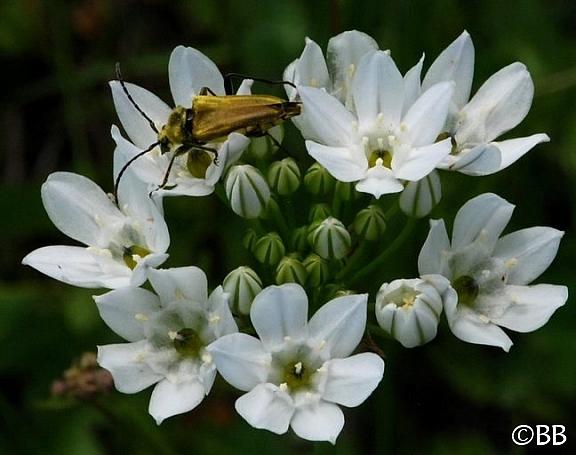 Triteleia hyacinthina  white brodiaea