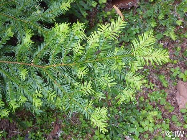 Taxus brevifolia  Pacific yew