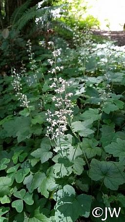 Tiarella trifoliata v. unifoliata  sugarscoop, foamflower