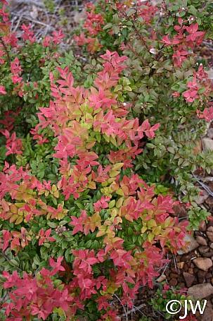 Vaccinium ovatum  evergreen huckleberry