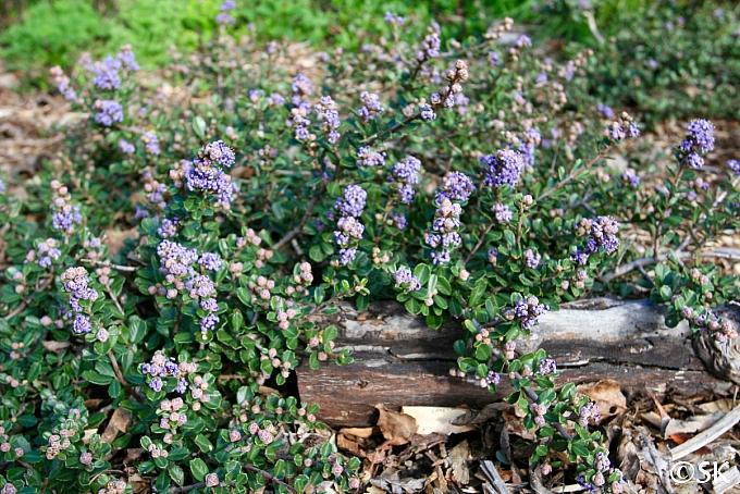 Ceanothus maritimus 'Valley Violet' Santa Barbara ceanothus
