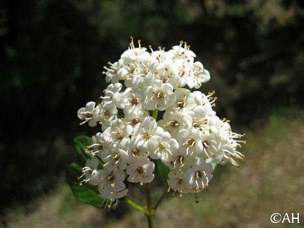 Viburnum ellipticum  western viburnum