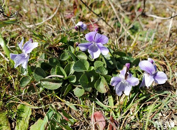 Viola adunca  Western dog violet