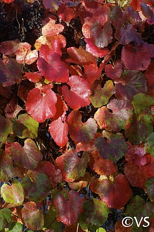 Vitis californica 'Roger's Red' California grape