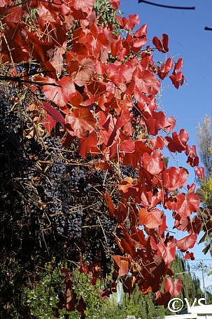Vitis Californica Roger S Red California Flora Nursery