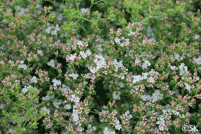 Eriogonum fasciculatum 'Warriner Lytle' California buckwheat