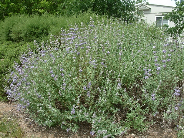 Salvia clevelandii 'Whirly Blue' sage