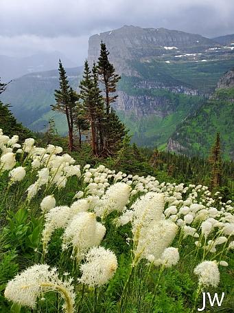 Xerophyllum tenax  bear grass