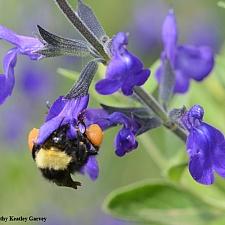 Salvia coahuilensis 'Purple Ginny' Coahuila sage