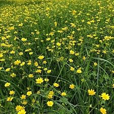 Ranunculus californicus  California buttercup