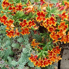 Mimulus   'Fiesta Marigold' monkeyflower