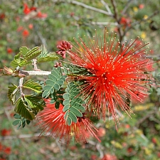 Calliandra californica  red fairyduster, zapotillo