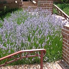 Lavandula  x intermedia 'Provence' lavender