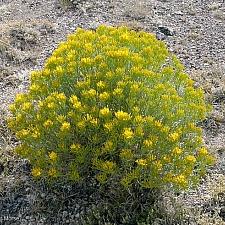 Ericameria nauseosa  showy rabbitbrush