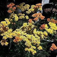 Achillea  millefolium 'Terracotta' yarrow