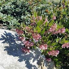 Arctostaphylos montereyensis  Monterey manzanita