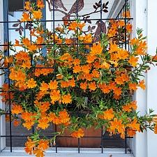 Mimulus   'Jelly Bean Orange' monkeyflower