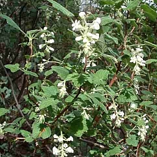 Ribes indecorum  white flowered currant