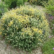 Phlomis lanata  woolly Jerusalem sage