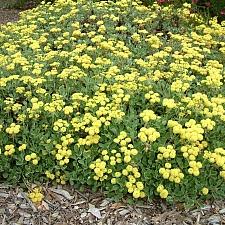 Eriogonum umbellatum  sulphur flower buckwheat