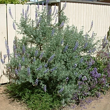 Lupinus arboreus - blue flowered form  blue bush lupine